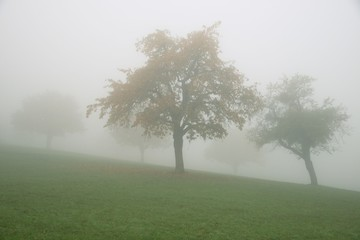 Foggy autumn landscape: trees in the field