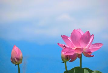 大賀蓮の花