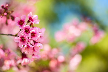 Soft focus Thailand is a flower that cherry blossoms in the winter of each year find very rarely in the north of the country.