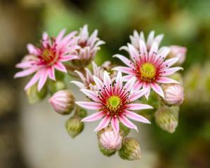 Sempervivum montanum. Mountain houseleek. Flowers of the Alps