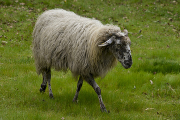 Acrylic Prints Sheep Mouton, brebis, race Landaise