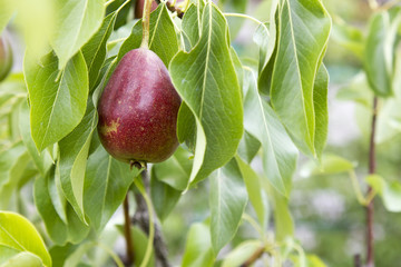 Red pear on a tree
