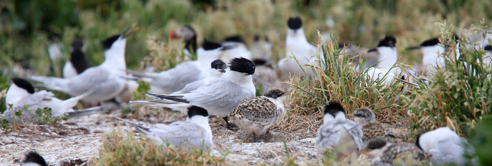 Sandwich Tern (Sterna sandvicensis), adults and juveniles in a nesting colony, Farne Islands, Northumbria, England, UK.