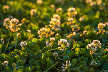 Summer evening in Yosemite Park. Clover in the rays of the setting sun