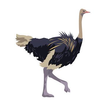 ostrich birds of savannah african fauna wildlife in tropics