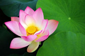 Foto auf Gartenposter Lotosblume Lotusblume, lotus flower
