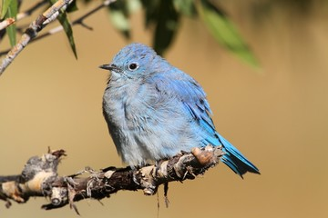 Fotoväggar - Male Mountain Bluebird (Sialia currucoides)