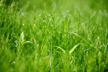 Morning grass macro background