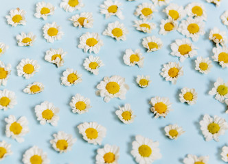 White Daisy Flowers on Blue Background