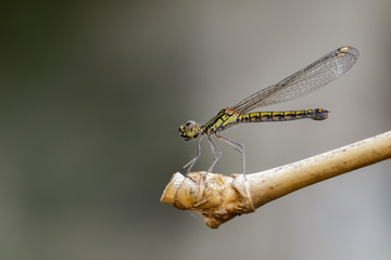 Image of Libellago lineata lineata dragonfly on dry branches. Insect Animal (Burmeister, 1839) Family Chlorocyphidae.