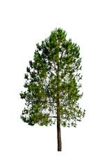 pine tree isolate on white