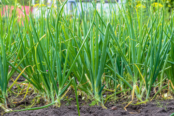 Green onion in the garden, vegetable in the ground ready for harvest