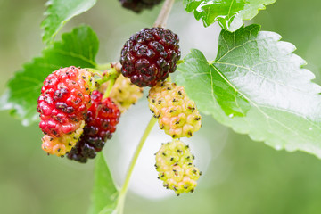 Fresh mulberry, black ripe and yellow, red unripe mulberries on the branch.
