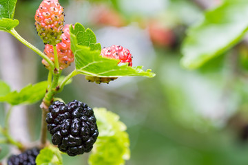 Fresh mulberry, black ripe and red unripe mulberries on the branch.
