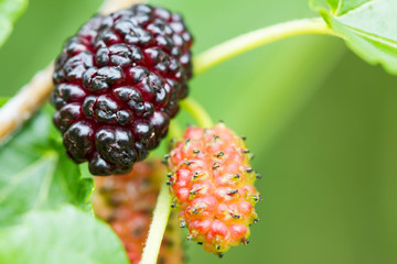 Fresh mulberry, black ripe and red unripe mulberries on the branch. Selective focus