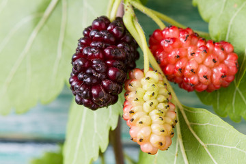Fresh mulberry, black ripe and yellow, red unripe mulberries on the branch on the blue wooden background.