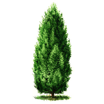 Green beautiful Cypress tree isolated, watercolor illustration on white