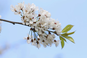 Birnbaum Blüten im Frühling (Pyrus)
