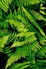 Green fern leaves in forest - background