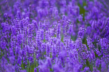 lavender fields in the garden ,furano in Japan on summer time