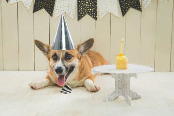 Cute pembroke corgi wearing birthday hat and festive cupcake