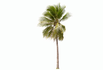 Coconut  tree isolated on a white background.