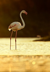 Vertical photo of  Greater flamingo, Phoenicopterus roseus in backlight against dark background. Backlit flamingo standing in gold sparkling water. Silhouette of flamingo. Spring, Camargue, France.