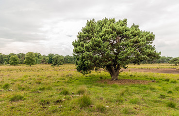 Detached scots pine tree on a large heather field