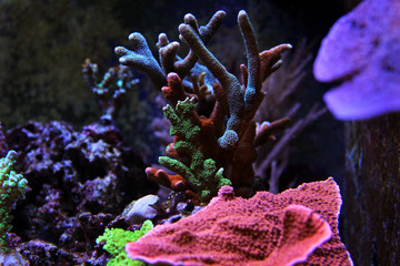 Multicolored montipora sps colony corals