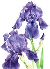 Fond de hotte en verre imprimé Iris Hand drawn watercolor iris flowers