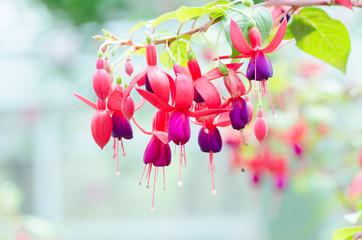 Red fuchsia flower decorative in a garden