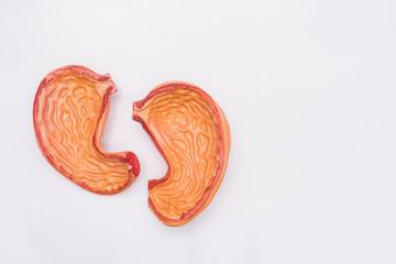 Close-up of Internal organs dummy on white background. Human anatomy model. Stomach Anatomy.