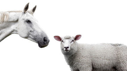Horse and sheep on a white background