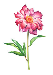 Watercolor hand painted illustration of red peony flower isolated on white background