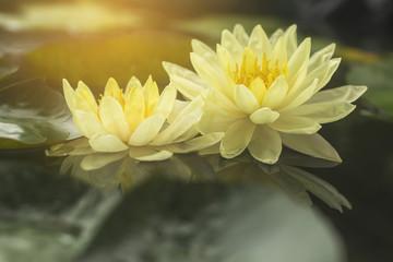 Good morning with beautiful lotus flower.