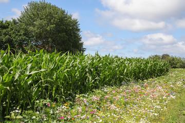 Maisfeld, Wildblumen, Blumen