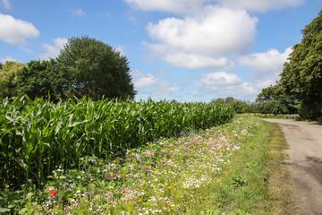 Maisfeld, Wildblumen, Blumen, Wanderweg