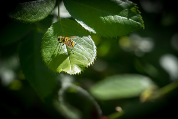 Wasp sitting on a green leaf in sunlight resting. Summer garden shot.