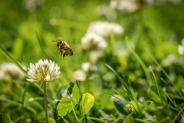 Close up of wild bee in mid-air next to a clover flower. Summer garden shot.