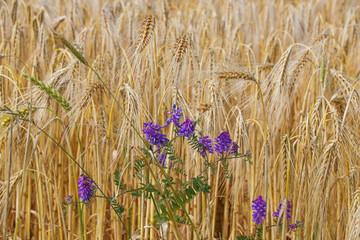 Kornfeld, Wildblumen, Weizen