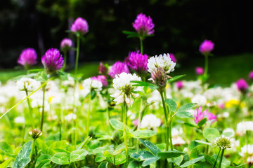 Clover flowers. Natural floral background.Selective focus.