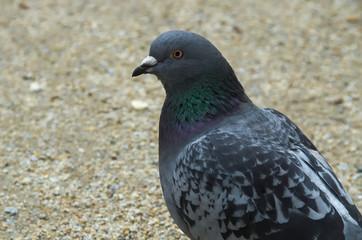 Portret gołębia