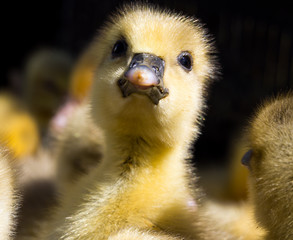 The head of a small duckling chick