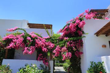 Pięknie pnące się różowe kwiaty na białych budynkach w Grecji.
