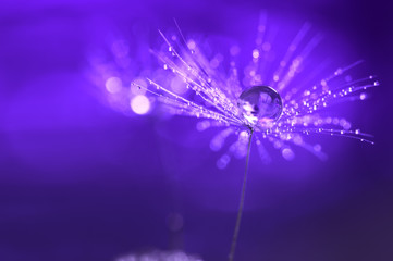 Purple background with water drops on a dandelion. An artistic image . Abstract macro