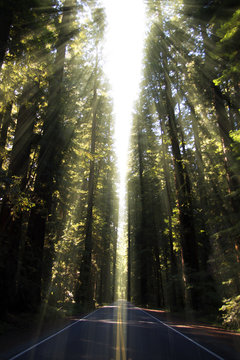 Redwood trees on Avenue of the Giants, California