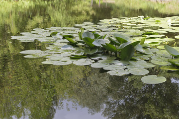 Leaves of water lilies