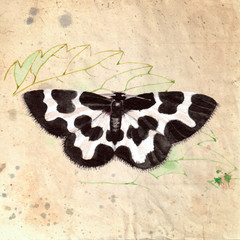 Beautiful black and white butterfly - Lomaspilis marginata. Watercolor illustration, on textured grunge background