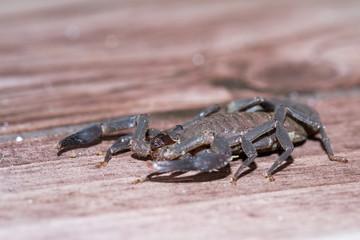 scorpion in Costa Rica