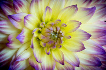 Close up of a yellow and purple dahlia flower.